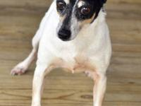 Rat Terrier - Rachael Ray - Small - Adult - Female -