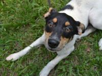 Rat Terrier - River - Small - Young - Male - Dog River