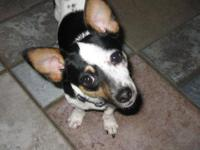 Rat Terrier - Rooster - Small - Young - Male - Dog This