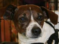 Rat Terrier - Rowdy - Small - Adult - Male - Dog Rowdy