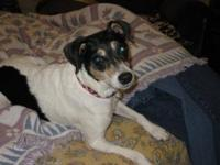 Rat Terrier - Roxy - Small - Young - Female - Dog Roxy