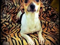 Rat Terrier - Shaky Pants - Small - Young - Female -