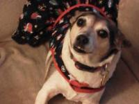 Rat Terrier - Skittles - Small - Adult - Female - Dog