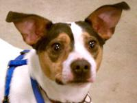 Rat Terrier - Sophie - Small - Adult - Female - Dog