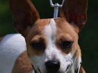 Rat Terrier - Stella - Small - Adult - Female - Dog