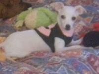 Rat Terrier - Stewart Little - Small - Baby - Male -