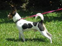 Rat Terrier - Sydney - Small - Adult - Male - Dog