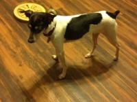 Rat Terrier - Tango - Small - Adult - Male - Dog This