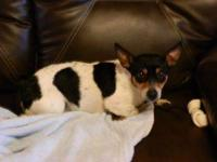 Rat Terrier - Tator - Small - Young - Male - Dog