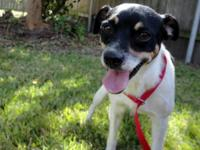 Rat Terrier - Throw - Small - Adult - Male - Dog $90