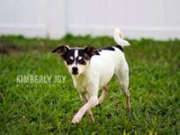 Rat Terrier - Tito - Small - Adult - Male - Dog Hi my