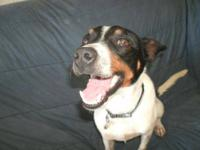 Rat Terrier - Todd - Small - Adult - Male - Dog Hello.