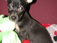 Rat Terrier - Veronica - Small - Baby - Female - Dog
