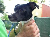 Rat Terrier - Wendy - Small - Adult - Female - Dog Am I