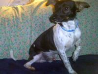Rat Terrier - Woody $250 - Small - Young - Male - Dog