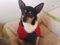 Rat Terrier - Zeke - Small - Adult - Male - Dog Please