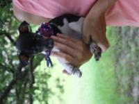 Rat Terrier Pups UKCI registration, wonderful small