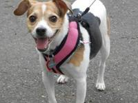 Rat Terrier - Bella - Small - Adult - Female - Dog