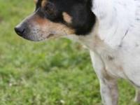 Rat Terrier - Raleigh - Small - Young - Male - Dog
