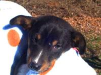 Rat Terrier - Sammy - Small - Baby - Male - Dog Hi my
