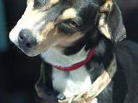 Rat Terrier - Spider - Small - Adult - Male - Dog