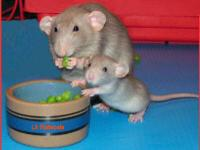 im looking for a few female rats my joesephine is