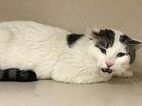 Raul's story Raul Age: 2 years old DSH/Neutered Male