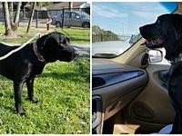 "RAVEN's story ""RAVEN"" is a beautiful, 60 lb., 2 to 3 yr"