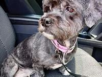 Raven's story Raven is a 6 year old, 17 pound shih tzu