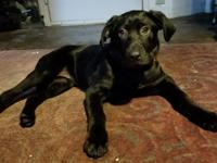 Rayley is a 3 month old lab retriever  whose ready to