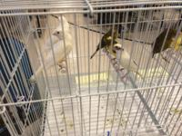 Raza Espaola canaries for sale in Manhattan. Healthy,