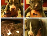 Beautiful Blue Pit Bull puppies born 4/13/13. 3 males