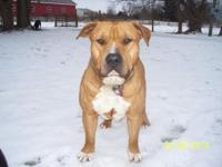 "Razor Edge ""Bully Type"" Pitbull Puppie for Sale! ..."