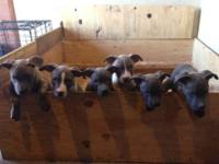Have pups available. Registered with UKC. Have vaccine