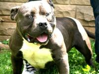3m 1F available,, pups are Razors Edge and will be ABKC