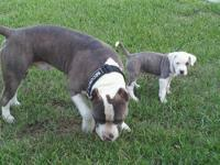 Blue pitbull puppies stocky low to the ground with huge