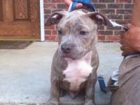 I have 6 beautiful blue/white, and brindle pups for