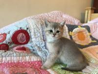 AVAILABLE NOW: Adorable blue golden point kitten male