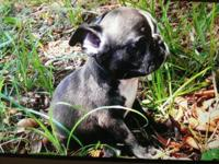 Ready for Mother's Day, beautiful CKC Frenchton puppies