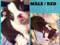 Beautiful CKC Boston Terrier Puppies they are raised in