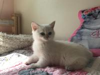 Adorable blue golden point kitten male available. White