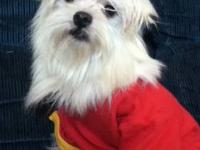 Very sweet apri reg maltese babies dad is 3 pounds mom