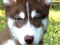 9 wks all set and old now! $1200 animal $1500 FULL AKC