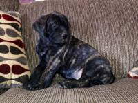 Ready Now! I only have 1 Fawn Brindle girl lleft, she