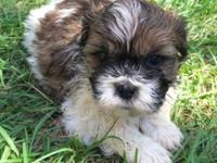 Three gorgeous male Shih Tzu puppies born 8-26-15;