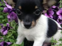 Little Jackson is half Chihuahua half Papillon. Will be