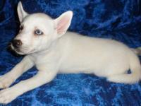 READY NOW! Siberian Husky Puppy White Female Blue Eye,