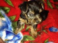 I have 4 adorable Yorkie puppies. 3 males and 1