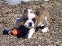 Beautiful beefy AKC English Bulldog puppies, three