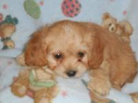 Beautiful registered Cav-a-poo puppies, pictures